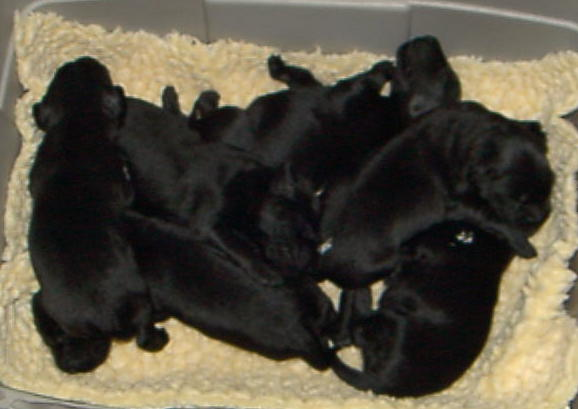 The Puppies - 9 Days Old